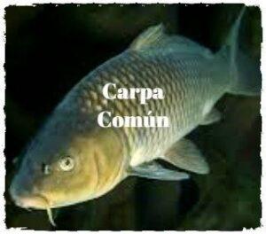 carpa común especies invasoras en españa